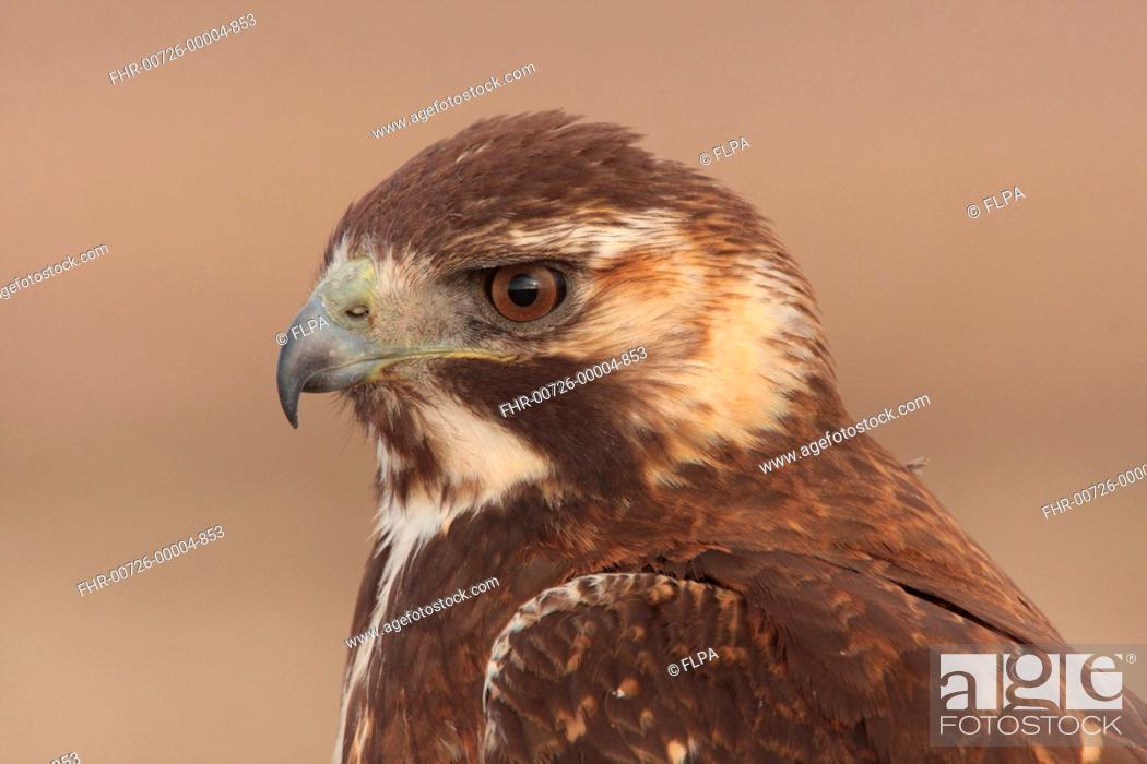 Stock Photo: Puna Hawk Buteo poecilochrous immature, close-up of head, Abra Pampa, Jujuy, Argentina, july.