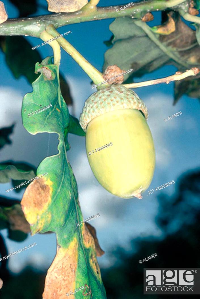 Stock Photo: Acorn and oak leaf.
