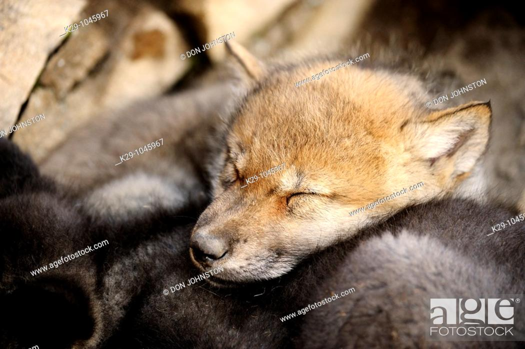 Stock Photo: Gray wolf Canis lupus babies.