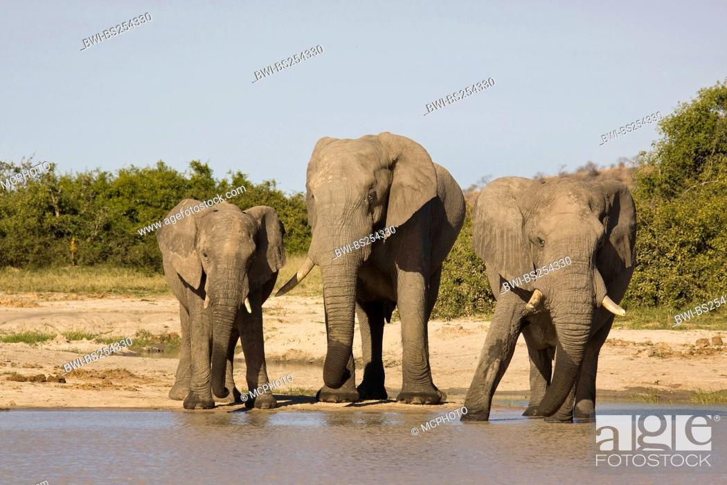 Stock Photo: African elephant Loxodonta africana, standing at a waterhole drinking, Botswana, Chobe National Park, Savuti.