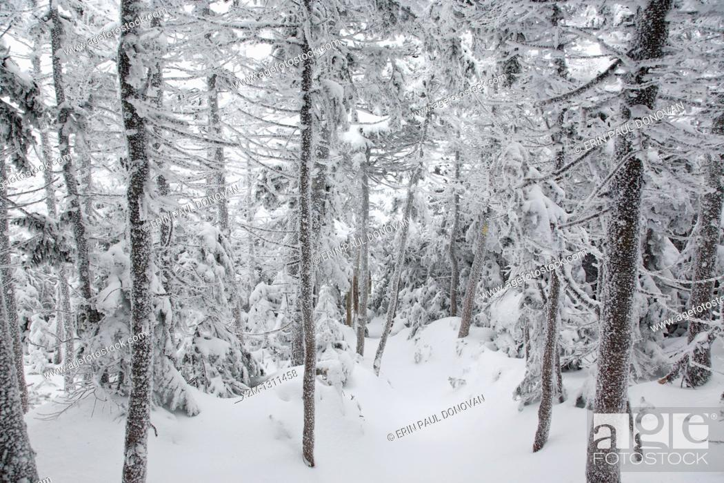 Stock Photo: Snow covered forest along the Hancock Loop Trail in the White Mountains, New Hampshire, USA, during the winter months.
