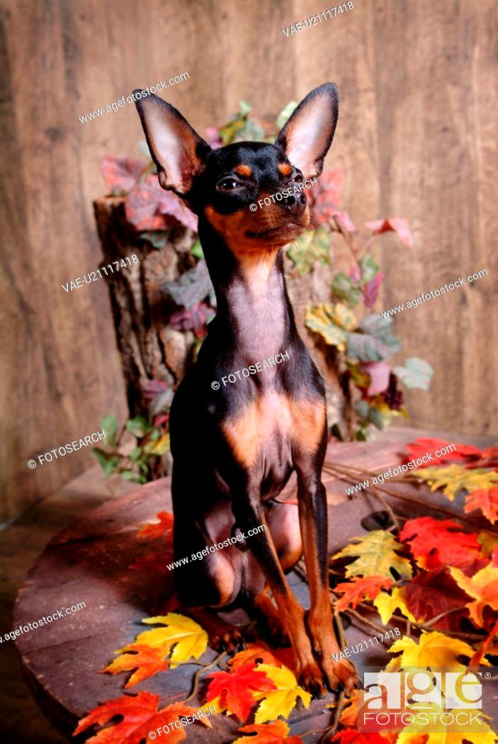Stock Photo: pose, pinscher, house pet, canines, domestic, posed, miniature pinscher.