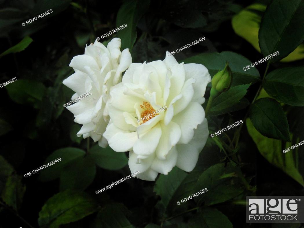Stock Photo: Close-up of White Rose.
