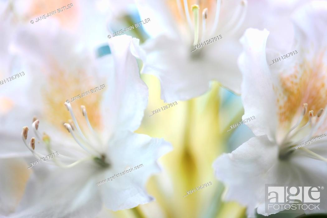 Stock Photo: Romantic Azaleas in Spring.