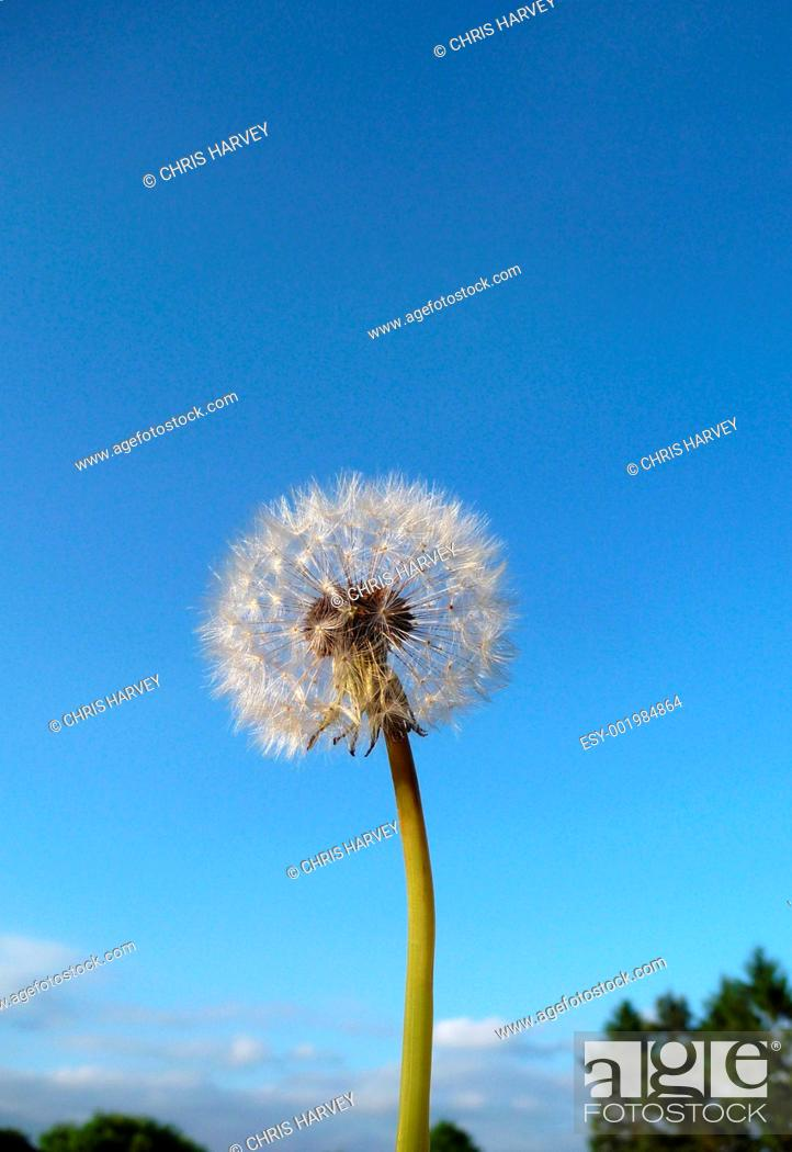 Stock Photo: Dandelion Clock.