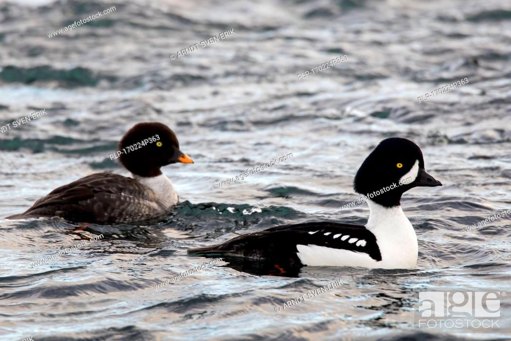 Photo de stock: Barrow's goldeneye (Bucephala islandica) pair, male and female swimming at sea, Iceland.