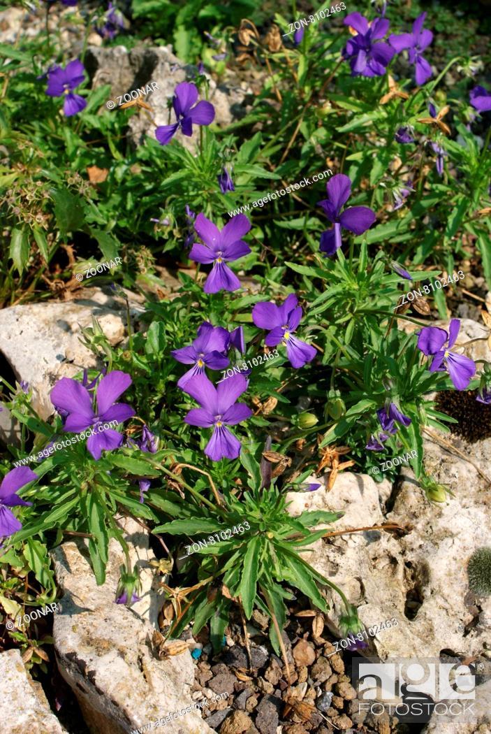 Stock Photo: Viola dubyana, Dubys Veilchen, Dubys violet.