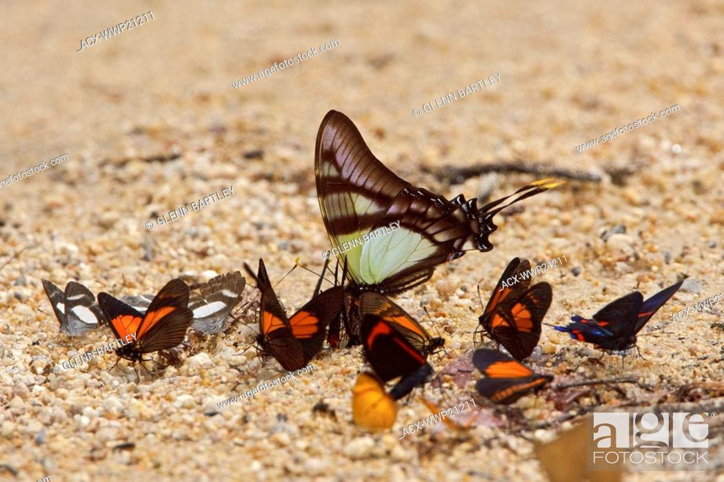 Stock Photo: A Butterfly in Podocarpus national Park in southeast Ecuador.