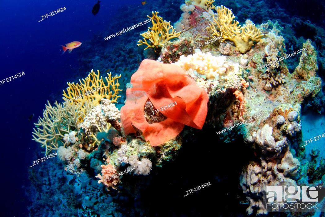 Stock Photo: Spanish dancer's eggs on Ras Mohamed's reef, north of Red Sea, Egypt. Hexabranchus sanguineus.