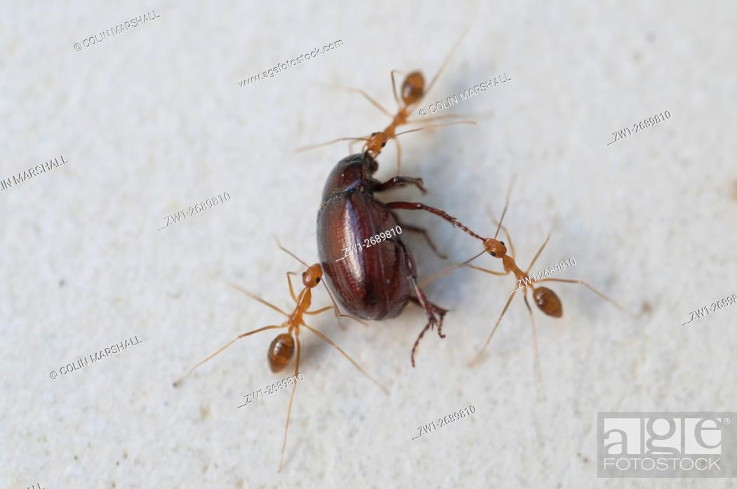 Stock Photo: Trio of Fire Ants (Oecophylla sp. ) dragging away dead beetle, Klungkung, Bali, Indonesia.