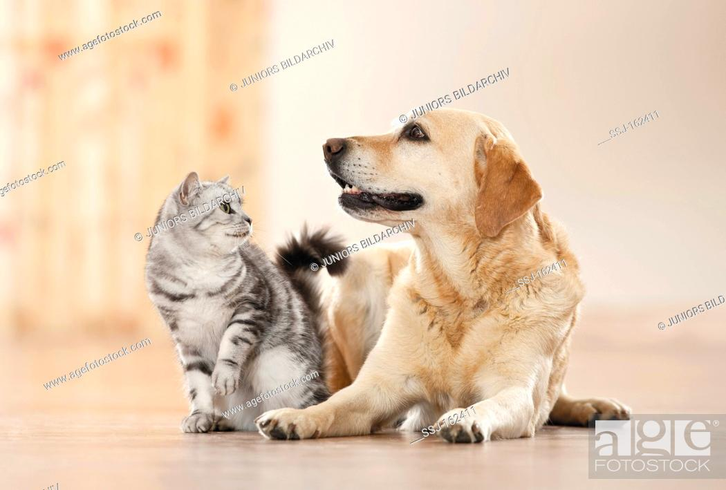Animal Friendship British Shorthair Cat And Labrador Retriever Dog Stock Photo Picture And Rights Managed Image Pic Ssj 162411 Agefotostock