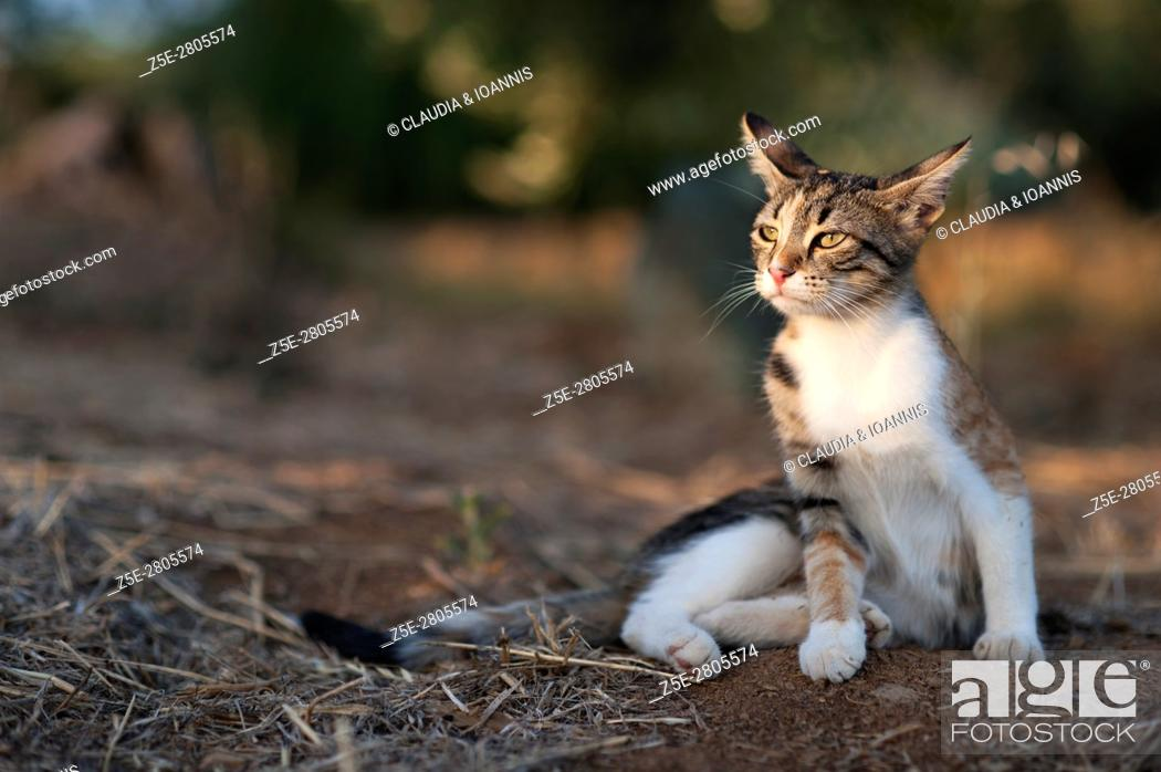 Stock Photo: Calico cat sitting outdoors and looking very attentive.