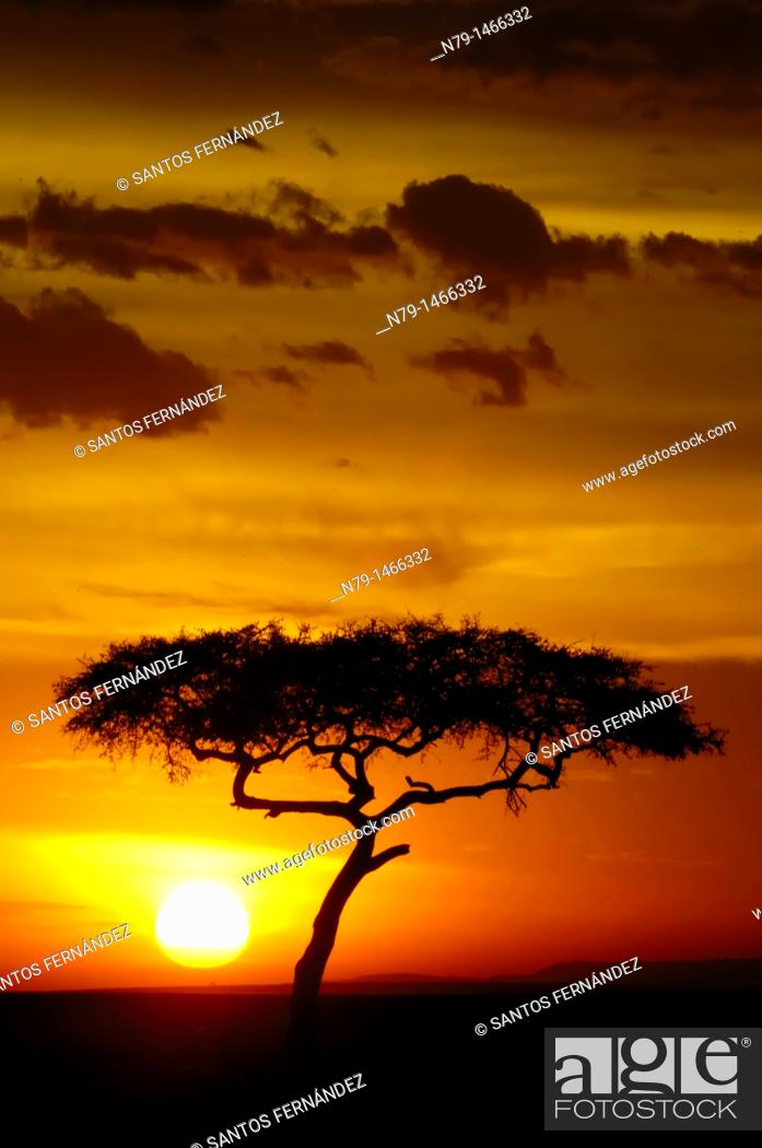 Stock Photo: Prickly acacia, photographed in the Masai Mara National Reserve, Kenya.