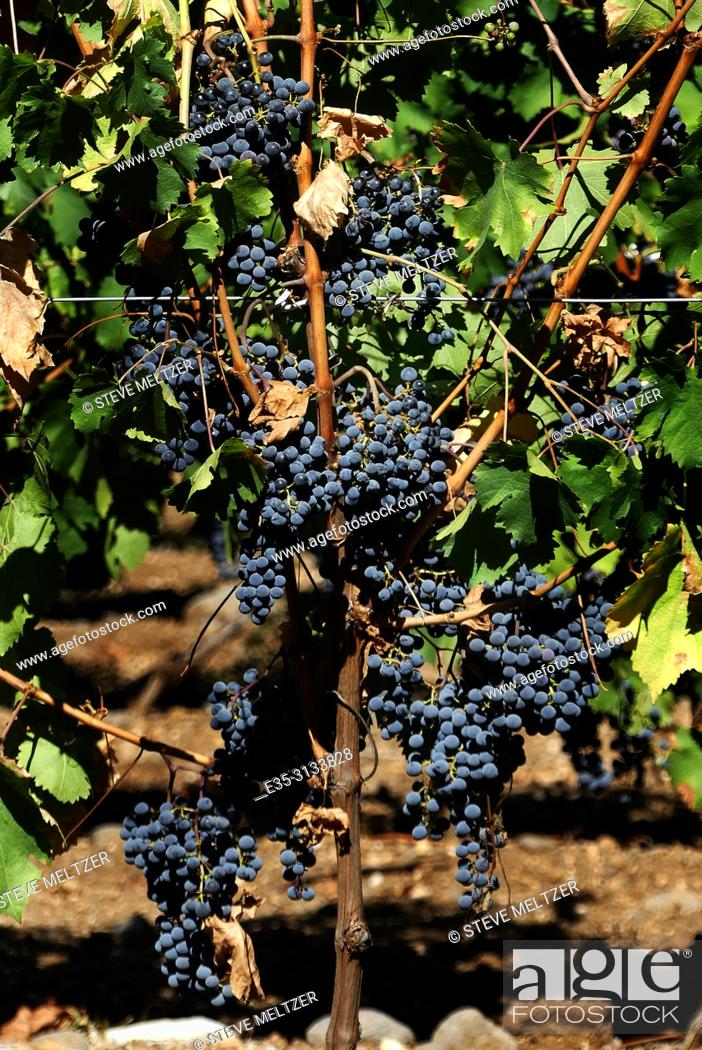 Stock Photo: Ready to harvest cabernet grapes, Tourbes, France.