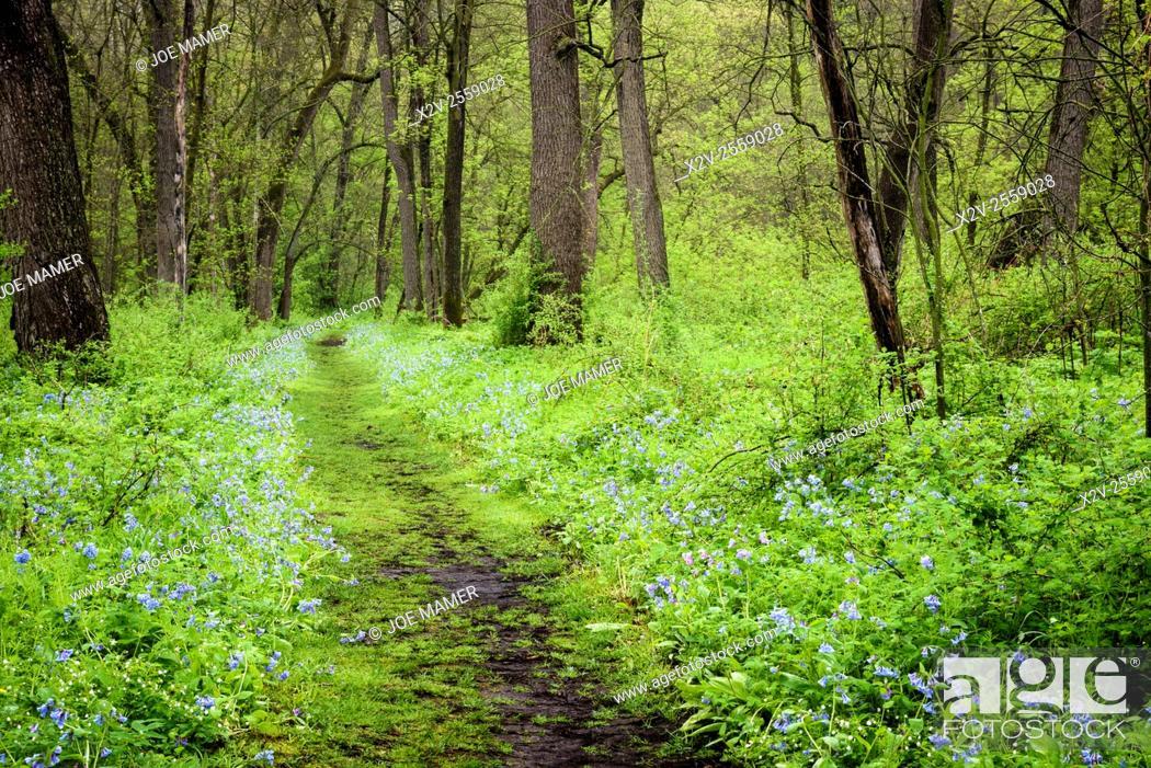 Photo de stock: Bluebells (Mertensia virginica) carpet the forest floor in Carley State Park in springtime.