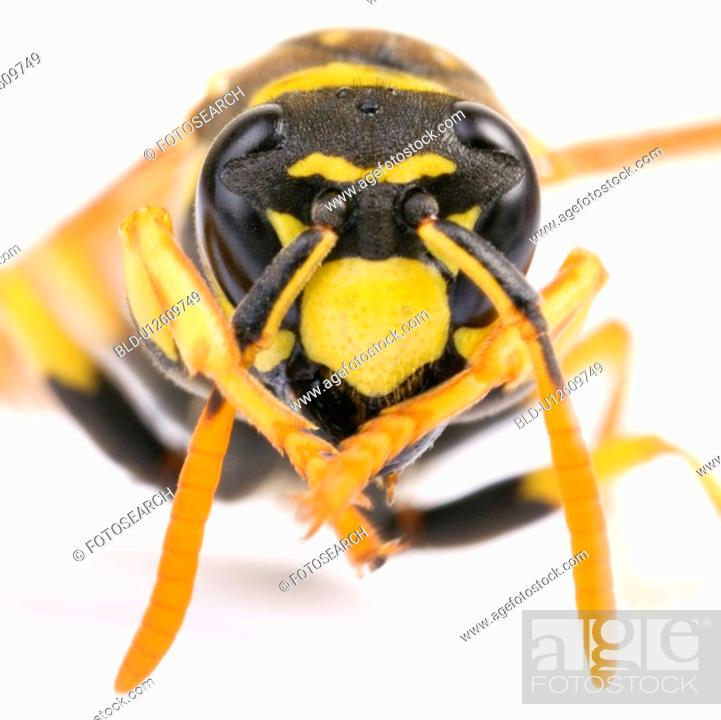 Stock Photo: Close-up to a wasp.