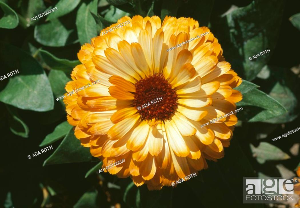Stock Photo: Calendula officinalis - a fairy gipsy outfit - beware of falling in love with me.