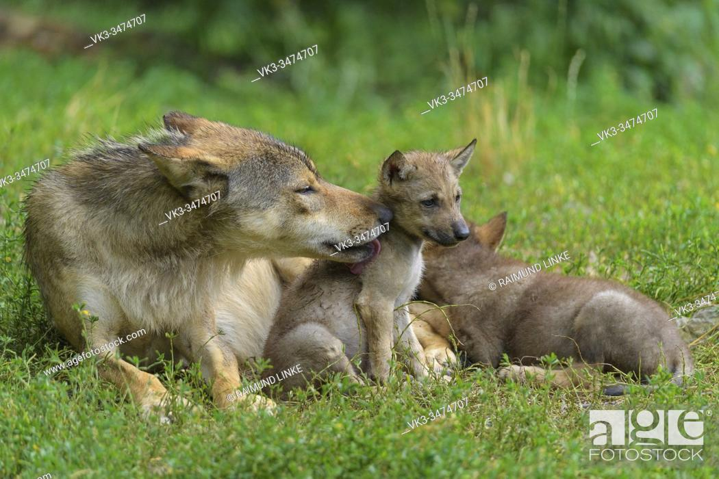 Photo de stock: Wolf, Canis lupus, adult with cubs.