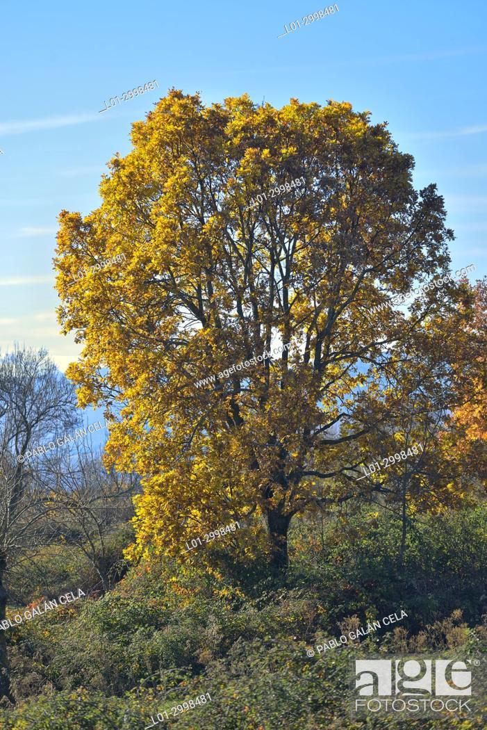 Photo de stock: Quercus pyrenaica in autumm.