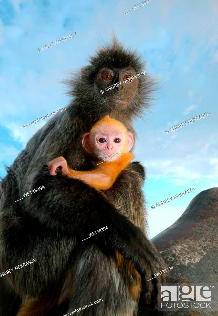 Stock Photo: silvered leaf monkey, silvery langur or silvery lutung (Trachypithecus cristatus) baby golden color is sitting on her mother's arms. Malaysia.