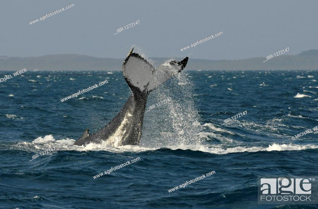 Stock Photo: Species-specific tail slap, slap of the tail fin, of a Humpback Whale (Megaptera novaeangliae) in front of Fraser Island, Hervey Bay, Queensland, Australia.