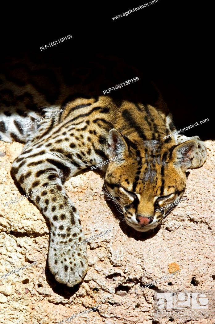 Stock Photo: Ocelot / dwarf leopard (Leopardus pardalis / Felis pardalis) resting in the shade in rock face, native to South America, Central America and Mexico.