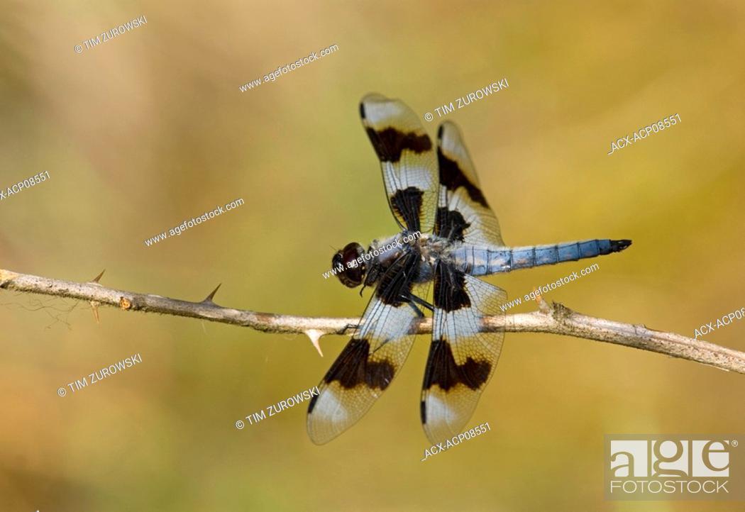 Stock Photo: Twelve spotted Skimmer Libellula pulchella, British Columbia, Canada.
