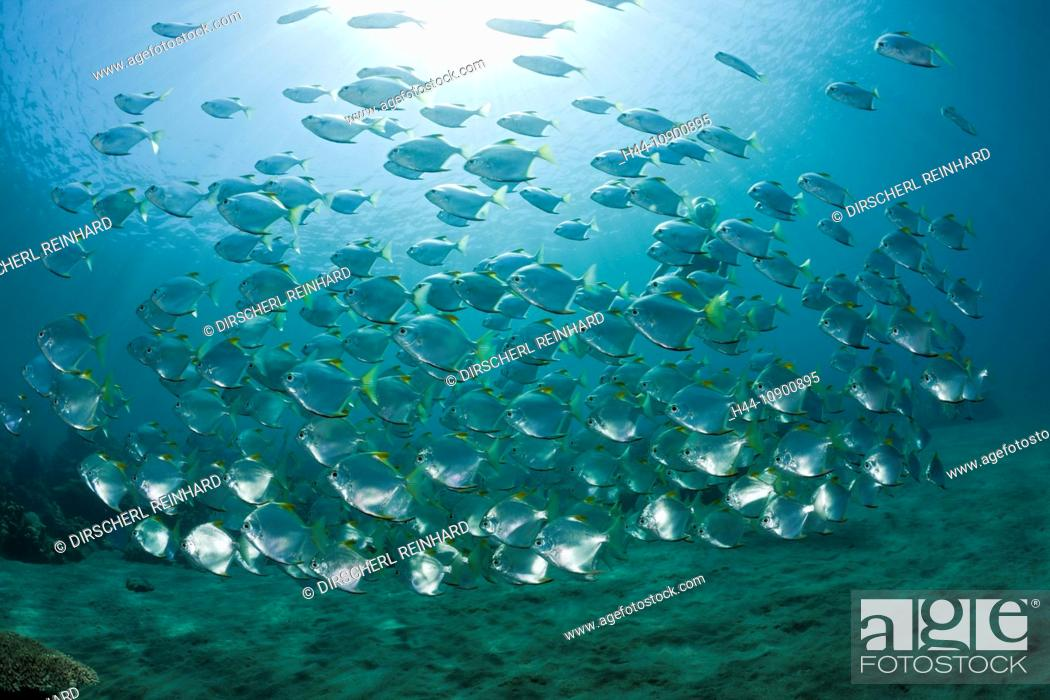monos silver moony mono argentus silver moonfish moonfish