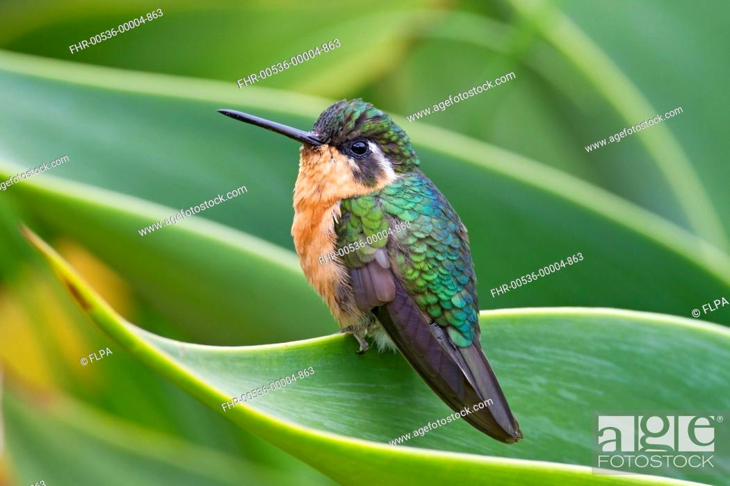 Stock Photo: White-throated Mountain-gem Lampornis castaneoventris adult female, perched on leaf, Savegre, Costa Rica, April.