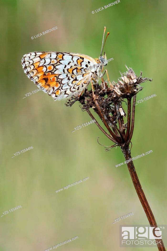 Stock Photo: Melitaea didyma.