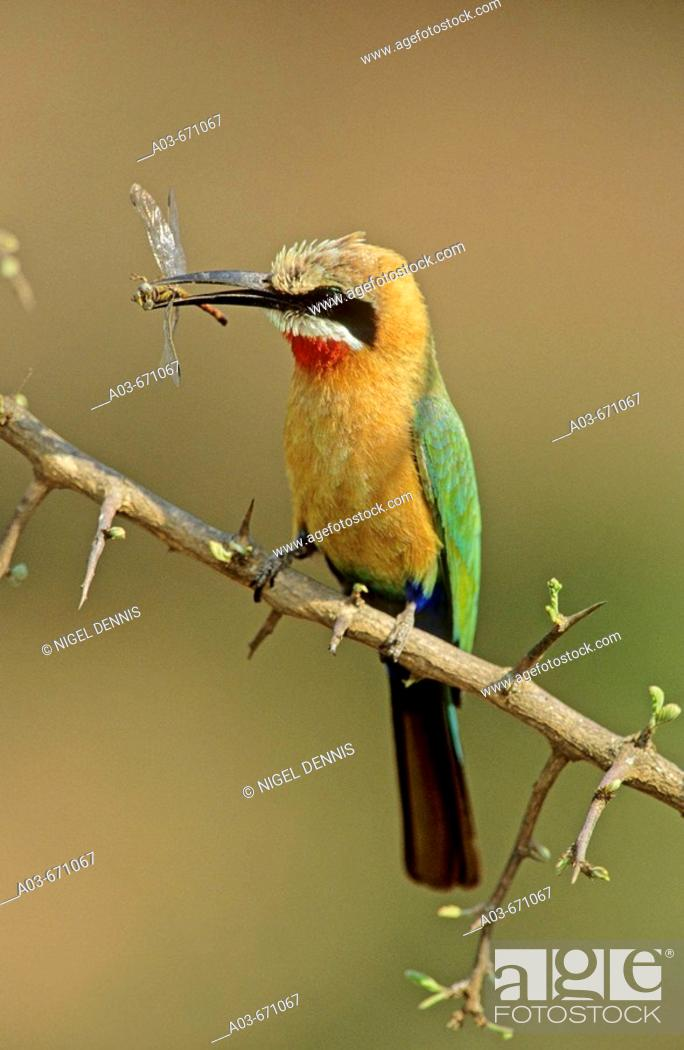 Stock Photo: White-fronted Bee-eater, Merops bullockoides, with dragonfly, Kruger National Park, South Africa.