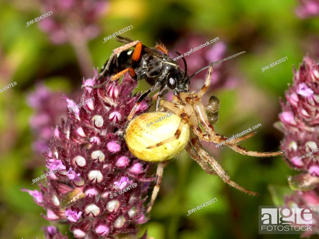 Stock Photo: Spider wasp (Episyron albonotatum), Female hiding captured, narcotized Orb-weaving Spider (Araneus spec.) in Breckland Thyme (Thymus serpyllum), Germany.