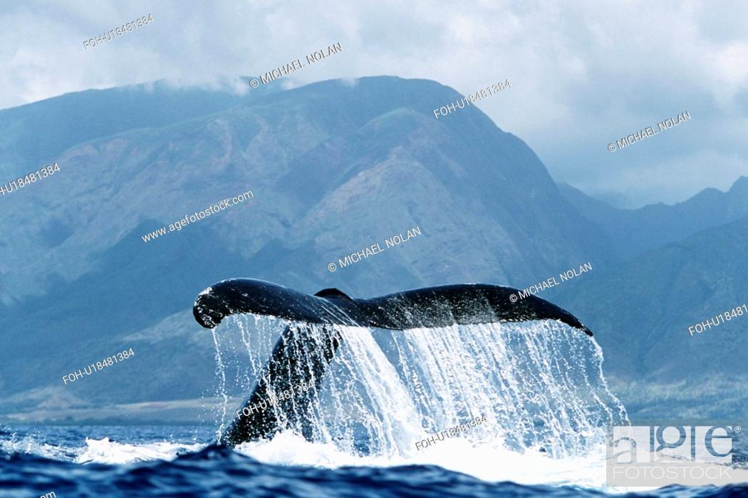 Stock Photo: Adult Pacific humpback whale inverted tail-lob in the AuAu Channel, Maui, Hawaii.