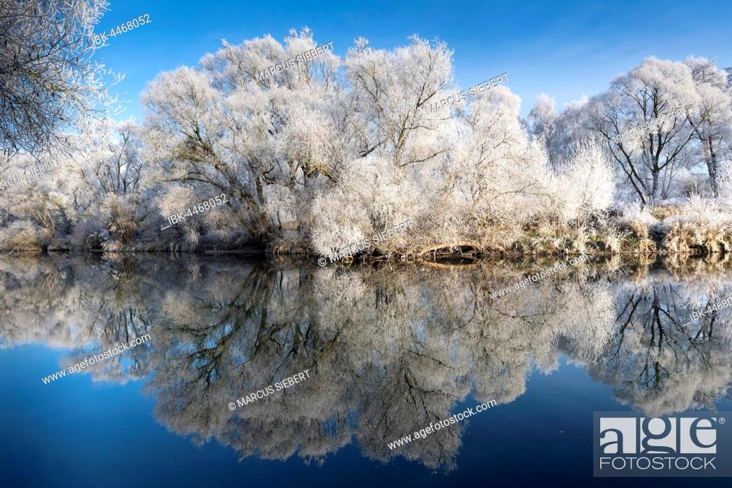 Stock Photo: Trees with hoarfrost reflecting in the river, Fulda, Guxhagen, North Hesse, Hesse, Germany.