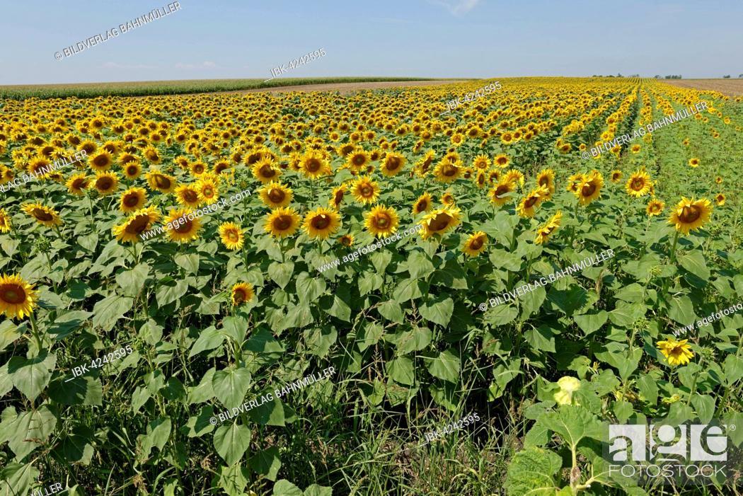 Stock Photo: Sunflower field, Frauenkirchen, Neusiedl Lake, Seewinkel National Park, Burgenland, Austria.