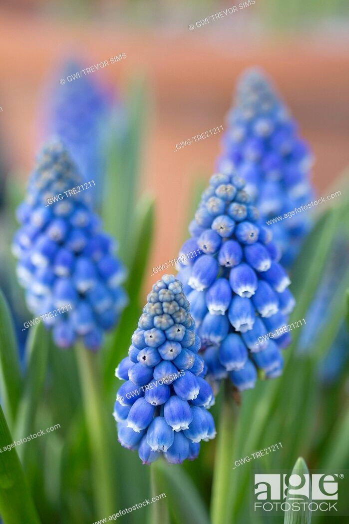 Imagen: MUSCARI 'BLUE SMILE'.