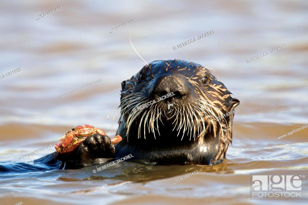 Stock Photo: Sea otter holding a crab in Monterey, CA.