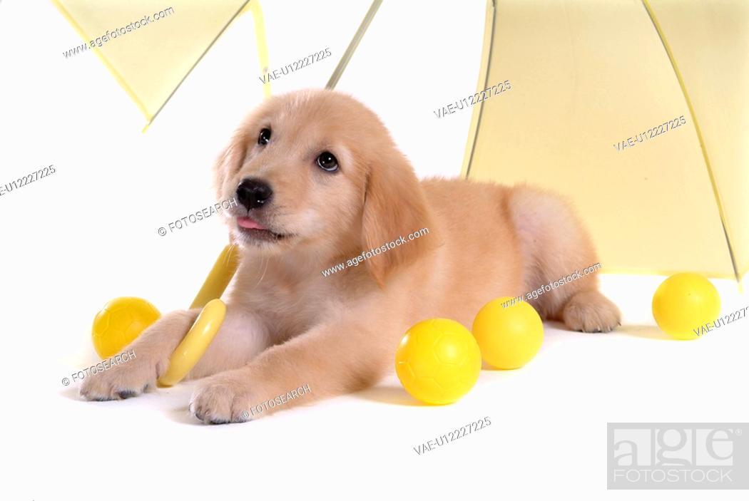 Stock Photo: domestic animal, golden retriever, ball, umbrella, retriever, looking up, petdog.