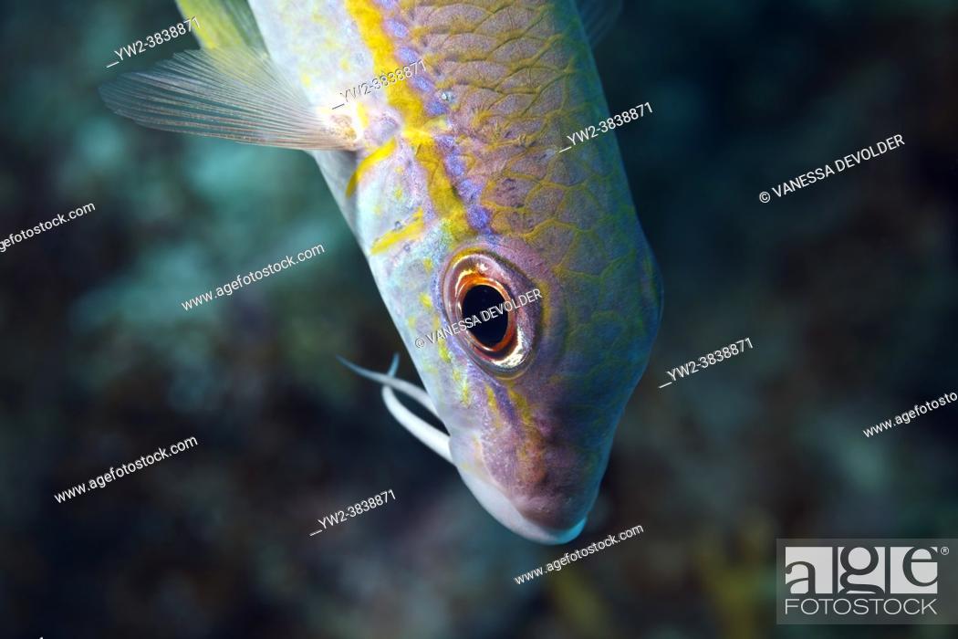 Stock Photo: Yello goatfish in the Caribbean sea around Bonaire.