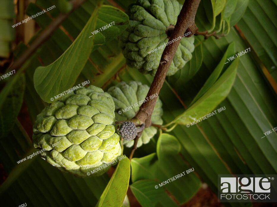 Stock Photo: Chirimoya fruits.