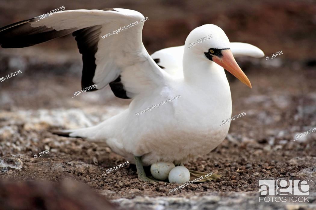 Stock Photo: Nazca Booby (Sula granti), adult on a nest, brooding, with eggs, Galapagos Islands, Pacific Ocean.