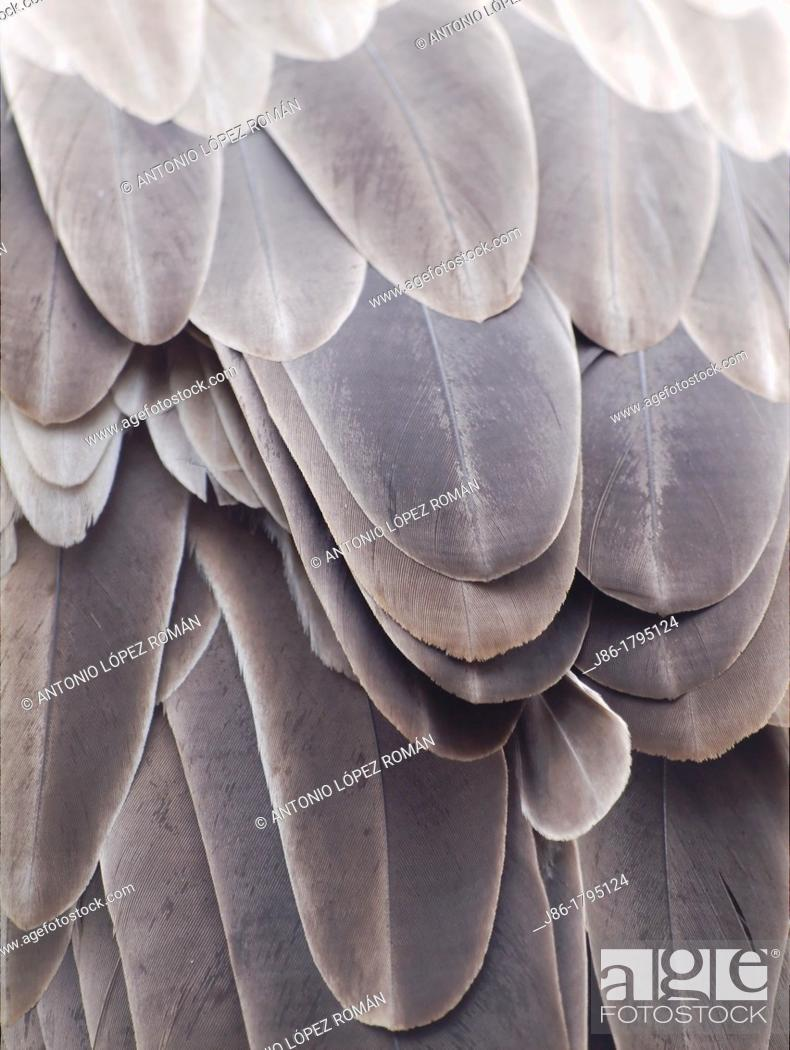 Stock Photo: Griffon Vulture feathers  Gyps fulvus  Texture  Natural.