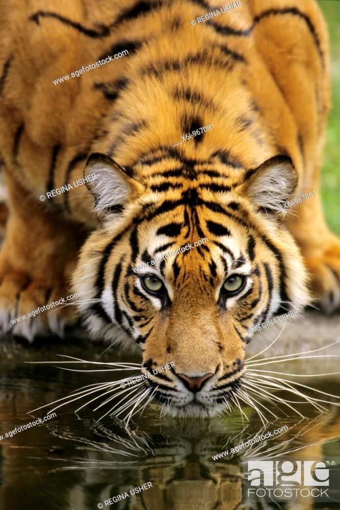Stock Photo: Sumatra Tiger Panthera tigris sumatrae, drinking, portrait.