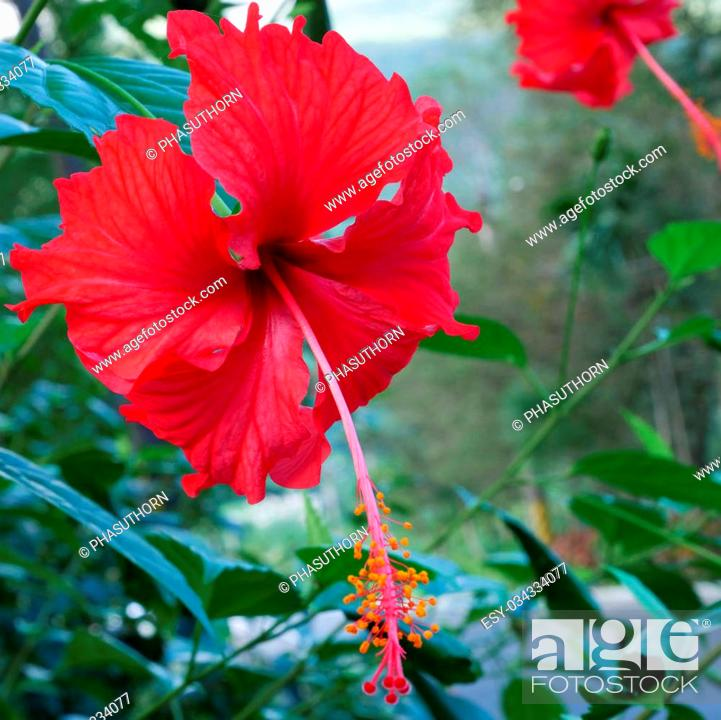 Stock Photo: The beautiful red shoe flower (Hibiscus or China rose).