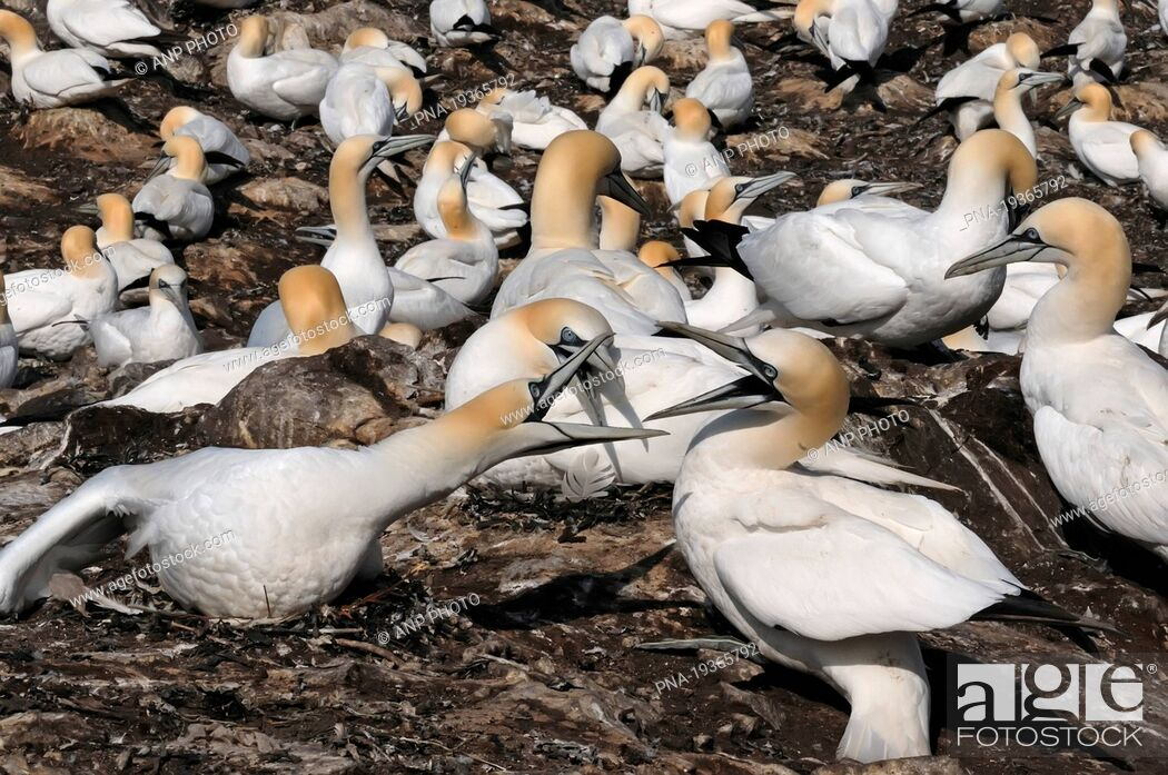 Stock Photo: Northern Gannet Morus bassanus - Bass rock, Firth of Forth, East Lothian, Scotland, Great Britain, Europe.