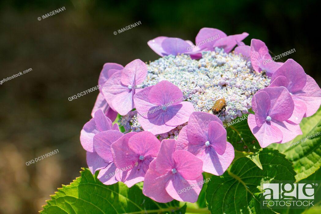 Imagen: Hydrangea and Flower chafer.