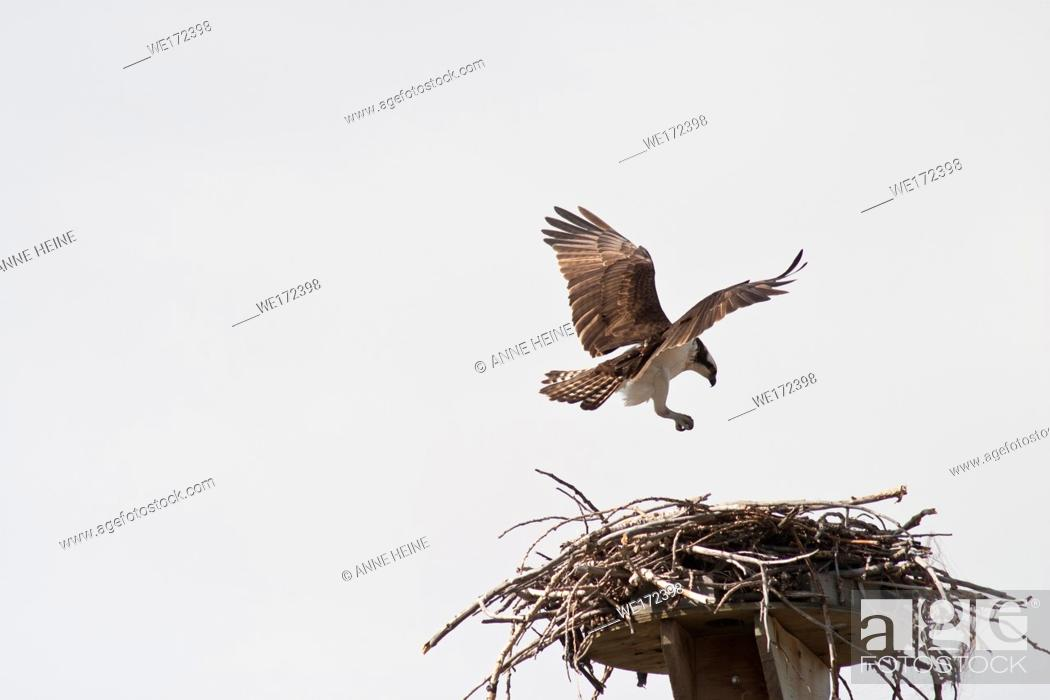Stock Photo: Osprey landing on nest. Next to Bow River in Bowmont Park in Calgary, Alberta, Canada.
