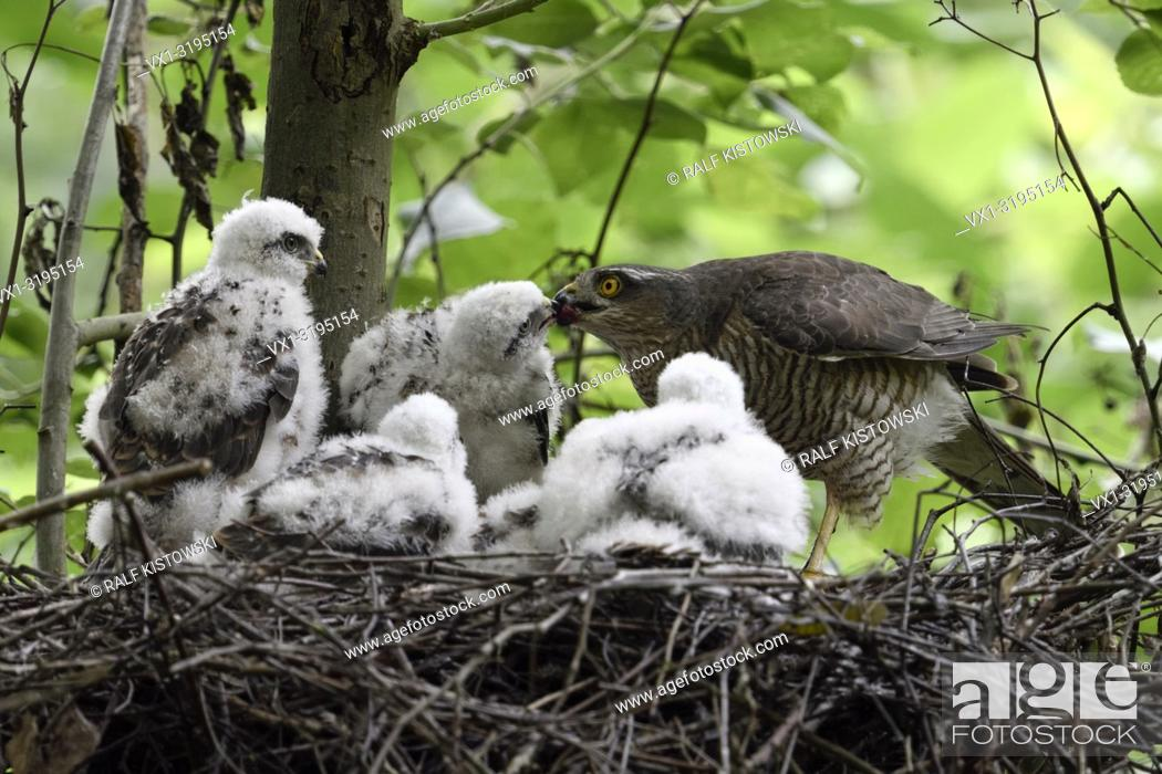 Stock Photo: Sparrowhawk (Accipiter nisus), caring female feeding its grown up chicks, wildlife, Europe.
