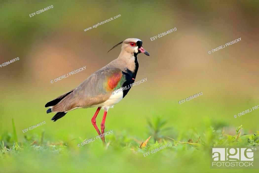 Stock Photo: Southern Lapwing, Vanellus chilensis, water exotic bird.