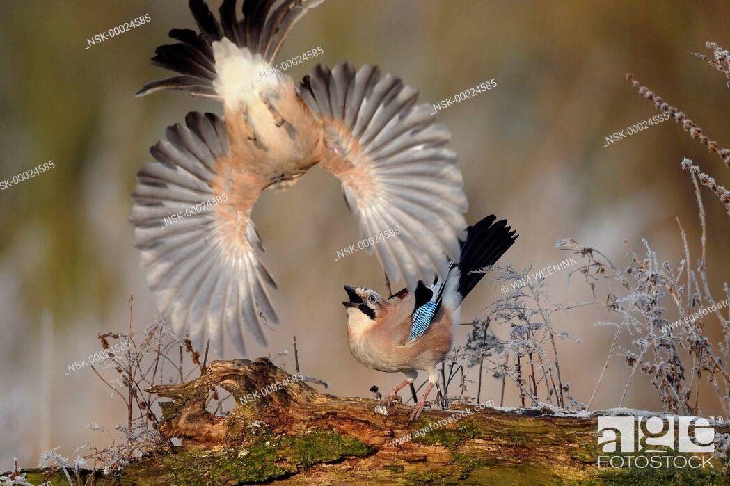 Imagen: Eurasian Jays (Garrulus glandarius) fighting, The Netherlands.